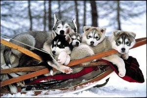 chiens-traineaux-abries-web-600-588